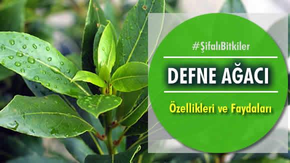 Photo of Defne Ağacı – Özellikleri ve Faydaları Nelerdir?