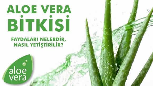 Aloe Vera Bitkisi – Nedir? Nasıl kullanılır, Faydaları Nelerdir ve Nasıl Yetiştirilir?
