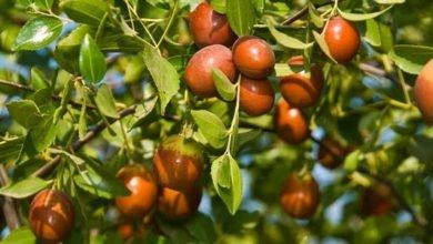Photo of Hünnap Nedir? Faydaları Nelerdir? Hünnap ağacı nasıl yetişir?