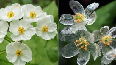 Photo of Yağmur yağınca şeffaflaşan İskelet Çiçeği